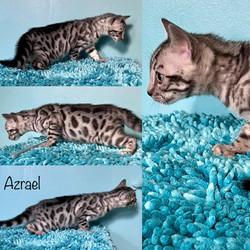 Azrael 8 weeks