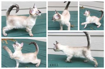 Krill 12 weeks.jpg