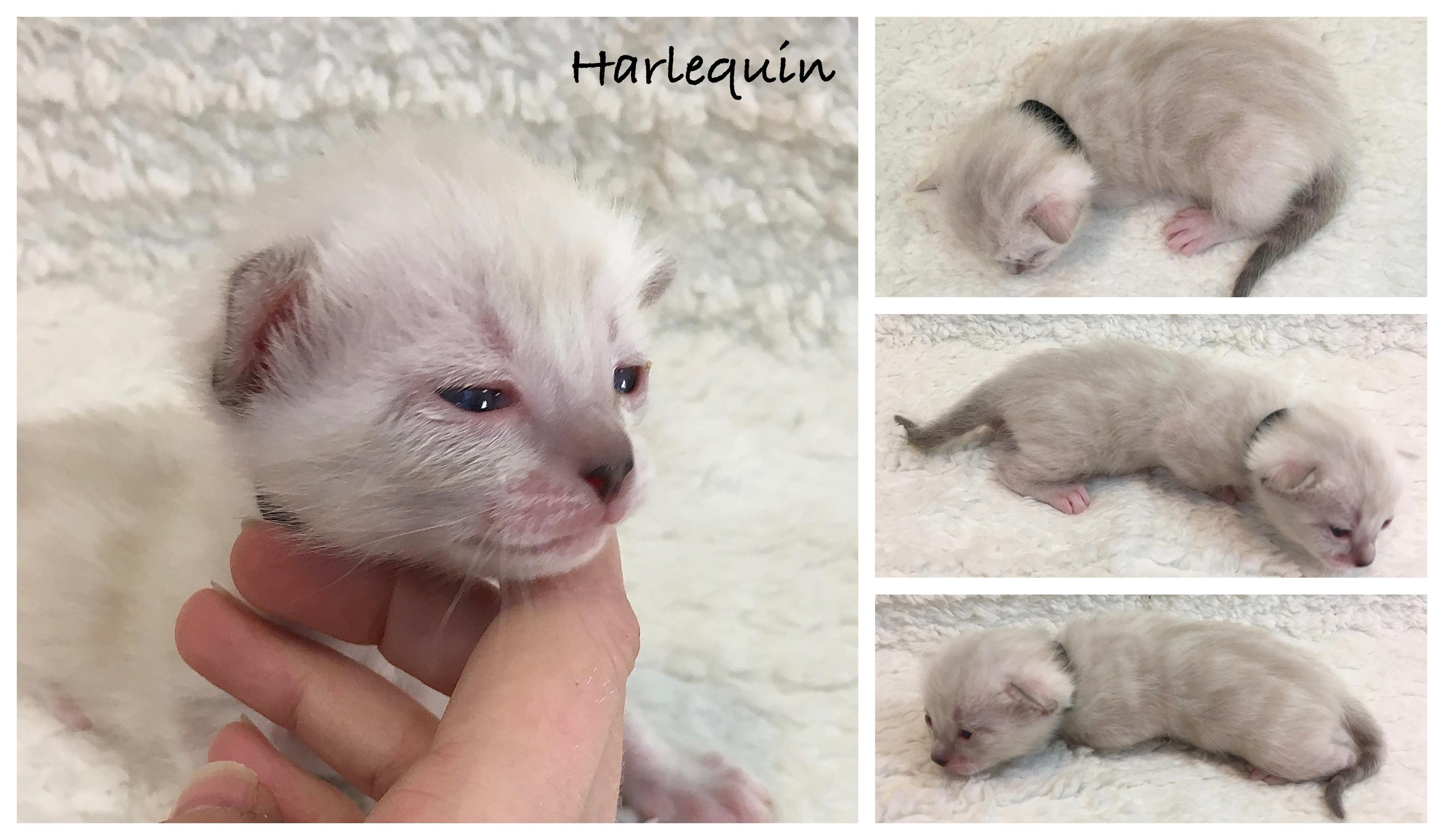 Harlequin 2 weeks