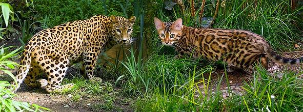 bengal-cat-vs-leopard-rosettes (1).jpg