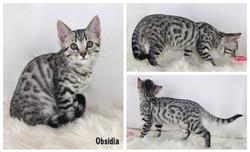 Obsidia 11 weeks