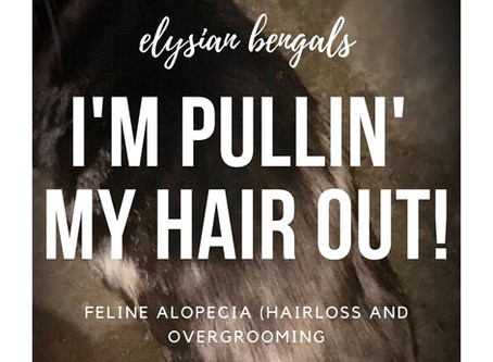 I'm Pullin' My Hair Out! (Feline Alopecia)