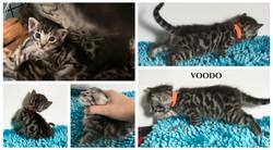 Voodo 3 weeks
