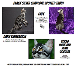 Black Silver Charcoal Spotted Sepia Tabby
