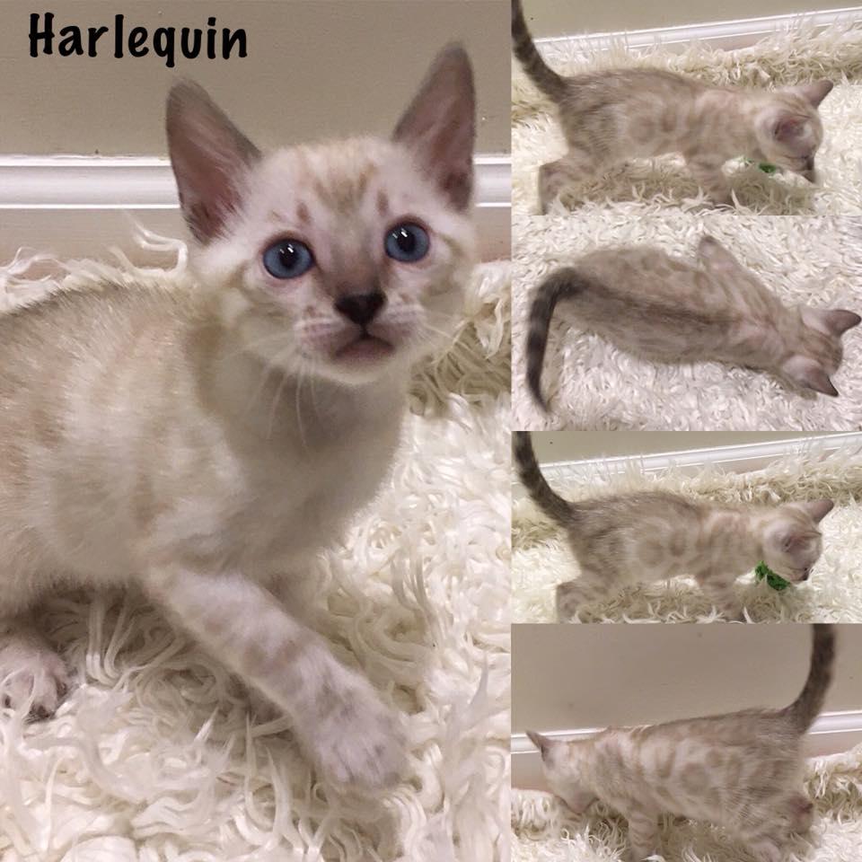 Harlequin 6 weeks