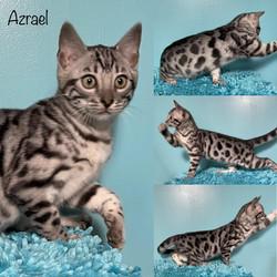 Azrael 12 weeks