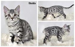 Obsidia 12 weeks