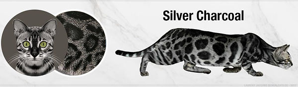 silver-charcoal-bengal-cats-color.jpg