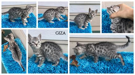 Giza 7 weeks.jpg