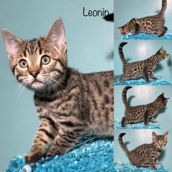 Leonin 9 weeks
