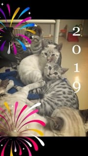 Another Year in Review: Update on Confessions of a Bengal Breeder