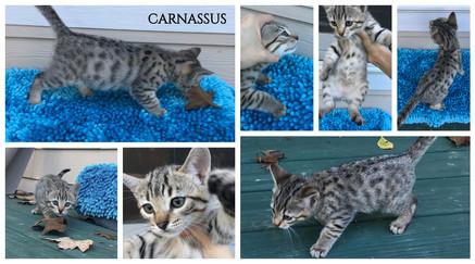 Carnassus 8 weeks.jpg