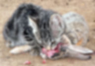 kitten eating whole prey
