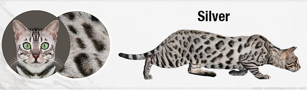 silver-bengal-cats-color.jpg
