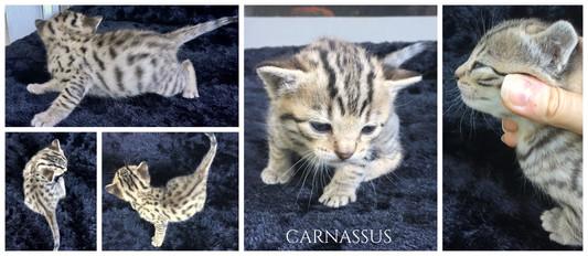 Carnassus 3 weeks
