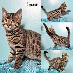 Leonin 11 weeks
