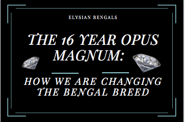 The 16 Year Opus magnum: How we are changing the Bengal breed