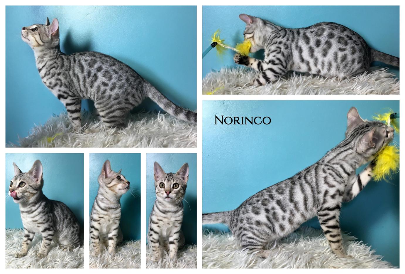 Norinco 17 weeks.jpg