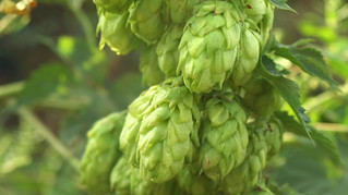 Win a FREE Pound of Hops - YOUR CHOICE!