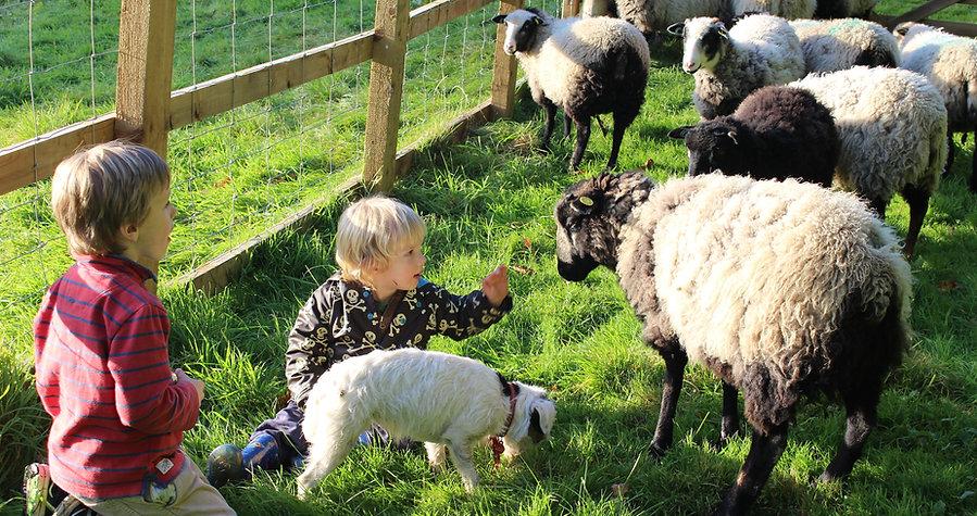 The flock of Shetland Sheep at Wonham Oak with their shephards