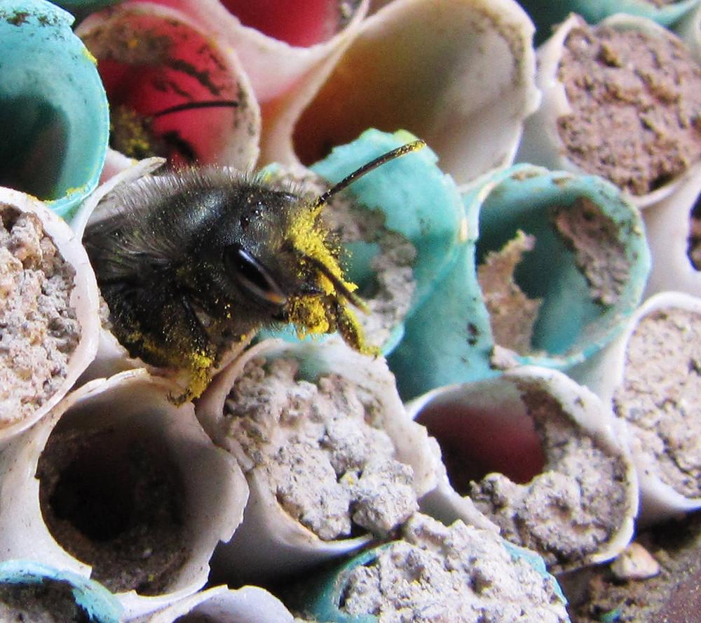 Mason bee. Photo Credit: Jim Mader