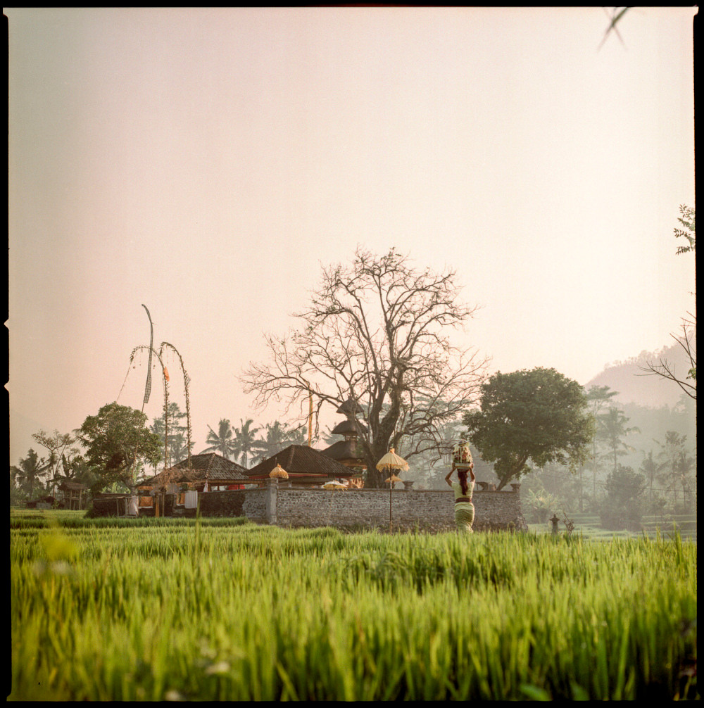 rice, farming, bali, photography, photograph, culture, film, analog