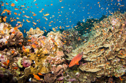 coral-trout-in-reef.JPG