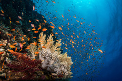 soft-coral-and-anthias-2.JPG