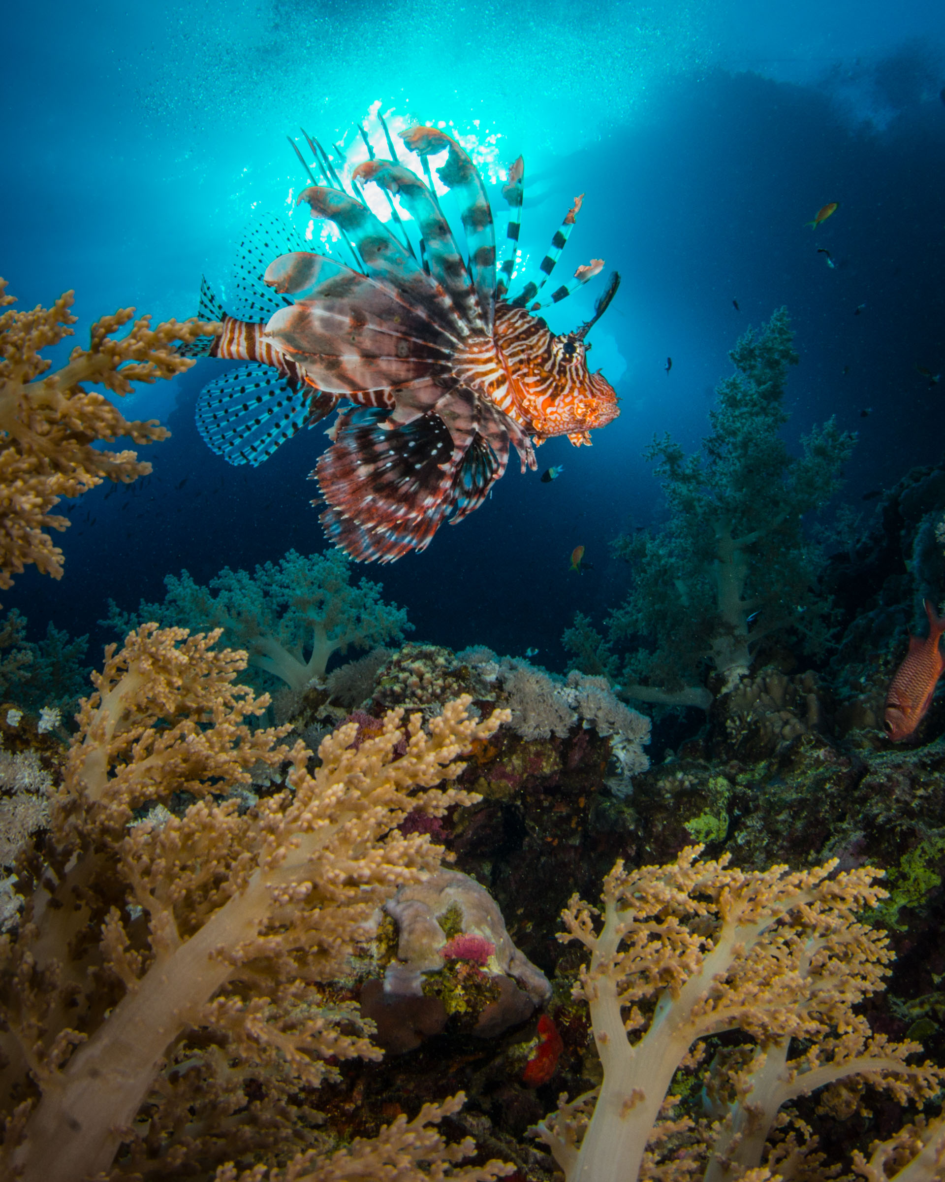 common-lionfish-and-soft-coral.JPG