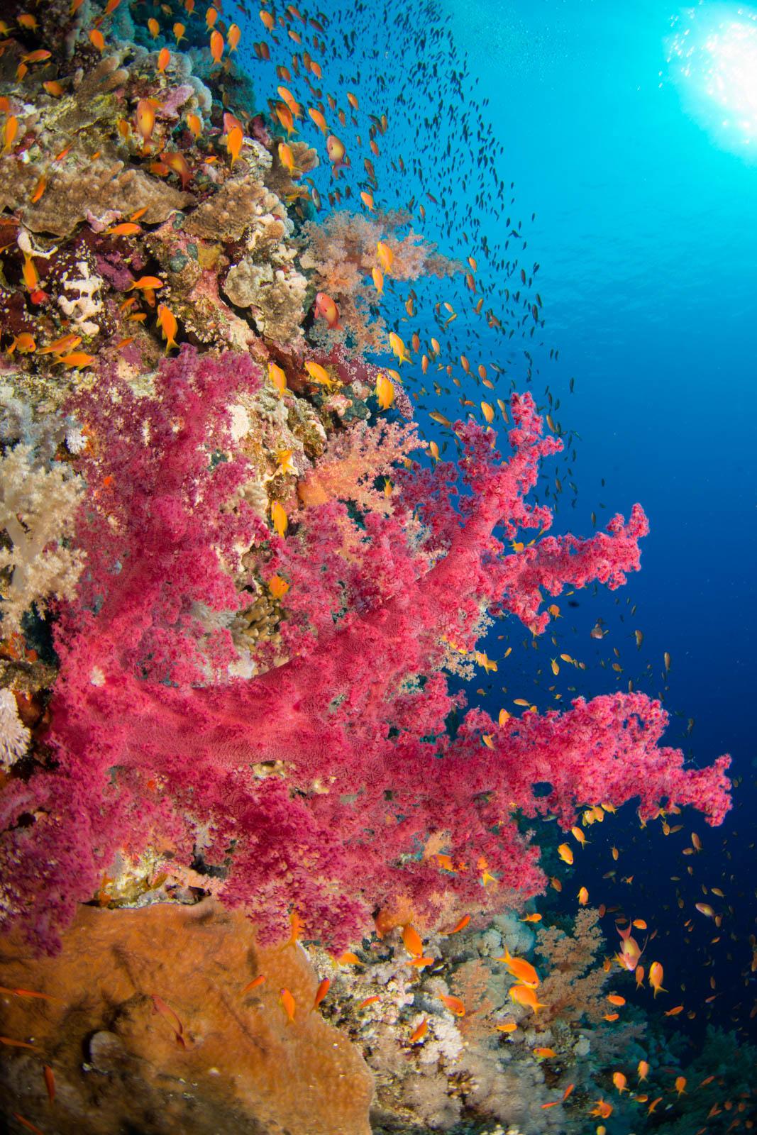 delicate-soft-coral.JPG