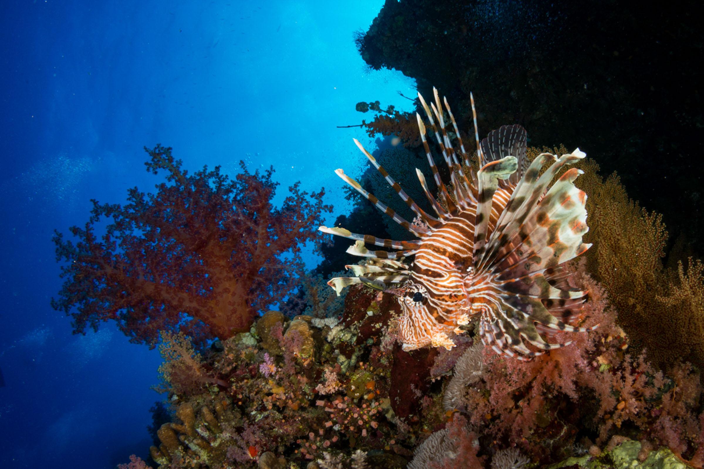 lion-fish-red-sea.JPG