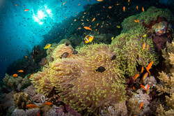 anemone-city-daedalus-reef.JPG