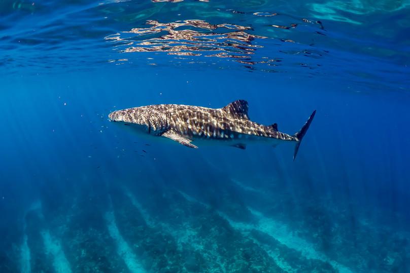 Whale Shark Swim