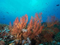 soft coral underwate phillipines