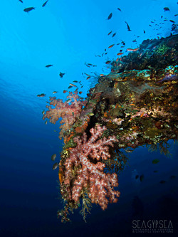 Phillipines soft coral