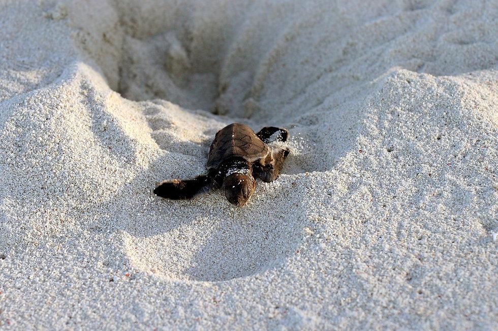 Turtle Escaping Nest.jpg