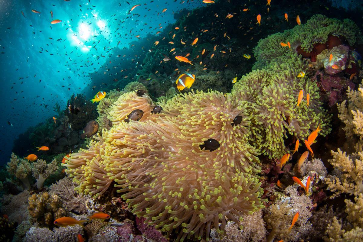 anemone-city-daedalus-reef-2.JPG