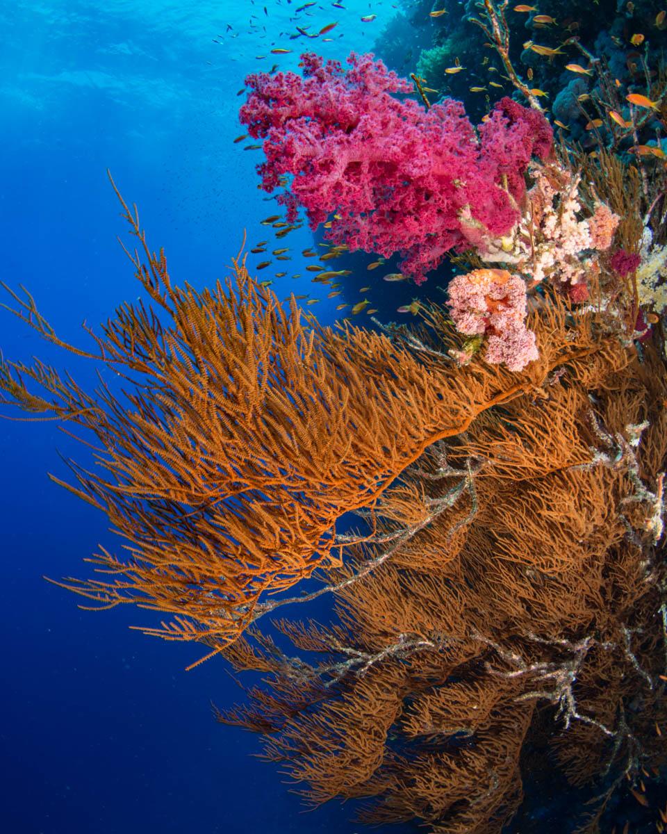 soft-coral-sea-black-coral.JPG
