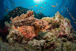 red-sea-scorpionfish.JPG