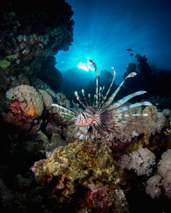 common-lionfish-pterois-miles-on-reef.JPG