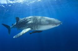 Whale Sharks | Exmouth, Australia