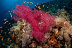 red-sea-soft-coral.JPG