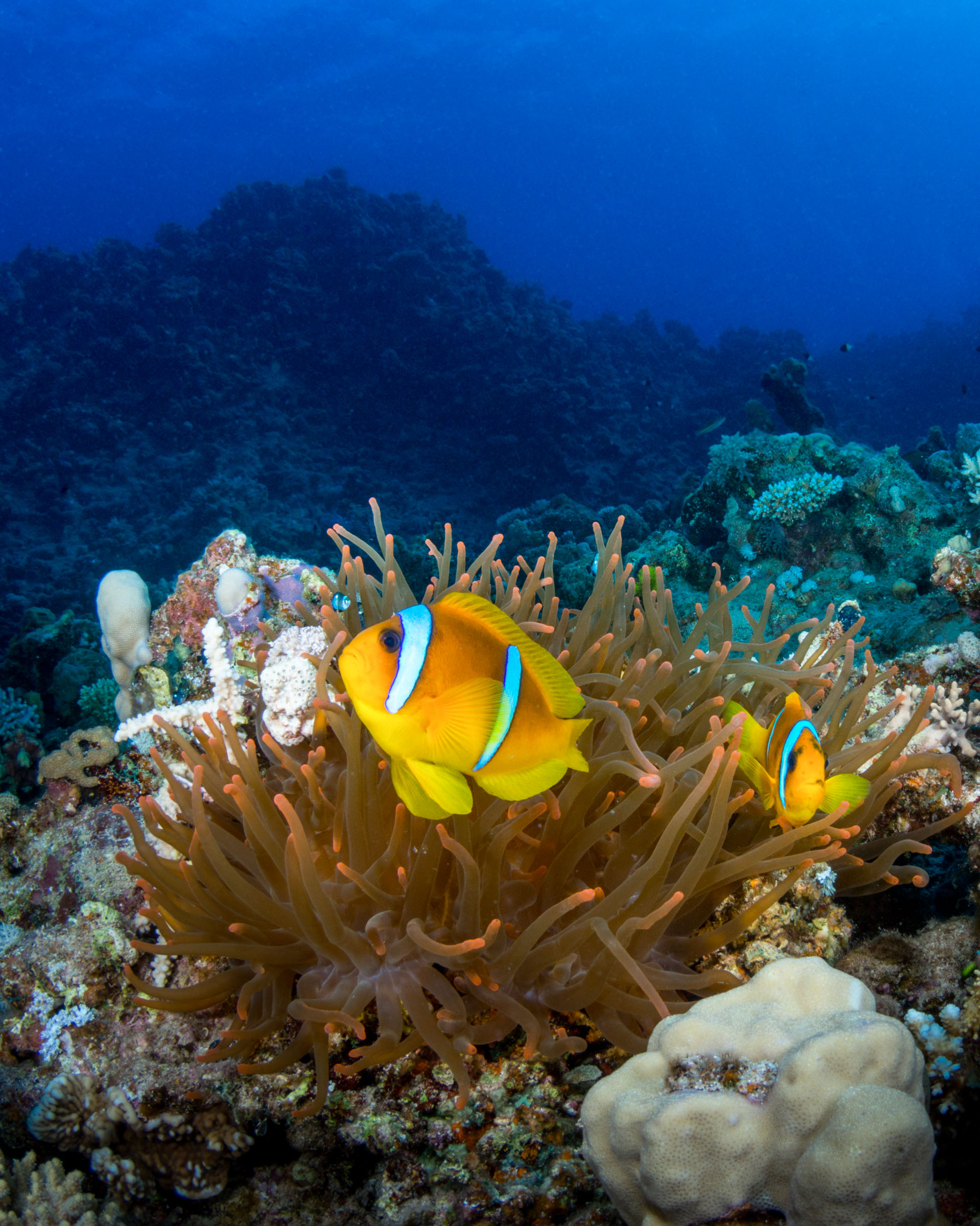 two-banded-anemonefish-red-sea.JPG