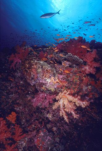 soft_corals_&_jack.jpg