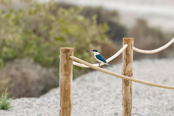 Collared Kingfisher (Arabian), Todiramph