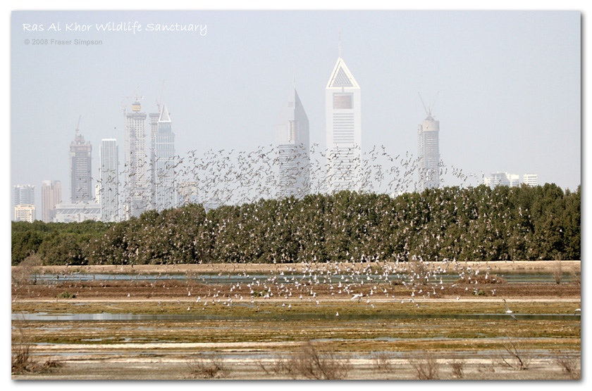 Ras al Khor WS with waders and skyscrape