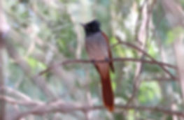 Indian Paradise Flycatcher.jpg