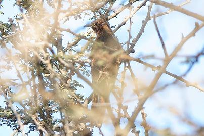 Grey-bellied Cuckoo.jpg