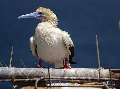 Red-footed Booby.jpeg
