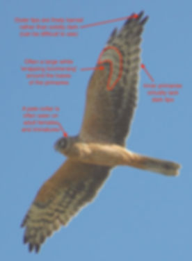 Pallid Harrier-notes.jpeg
